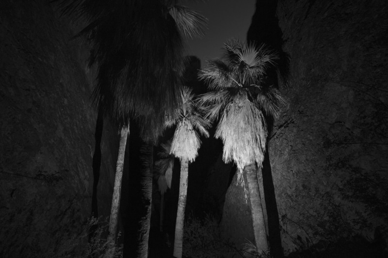 Only Existing Grove of Natural Native Palms in Arizona High in Mountain Ravine, 2018 ©Bil Zelman