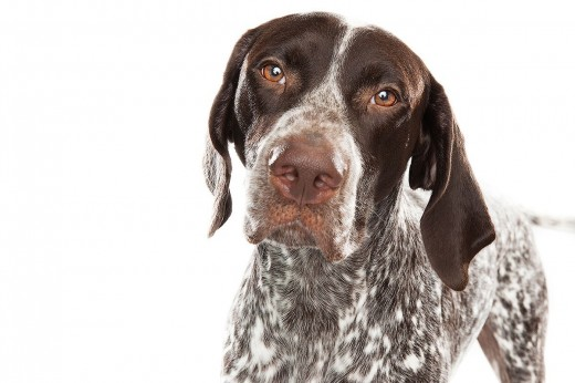 Keith Barraclough, German Shorthaired Pointer